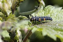 Marienkäferlarfe