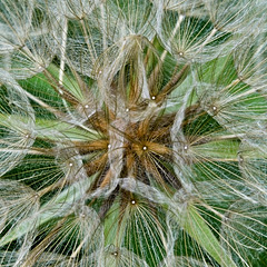 Goat's-beard Seed Head