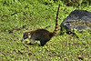 Masked Moocher – Arenal Volcano National Park, La Fortuna, Alajuela Province, Costa Rica