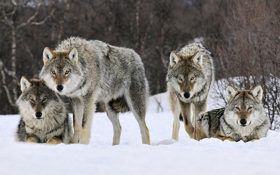 Une meute de loups________EXPLORE