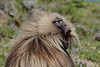 Ethiopia, Simien Mountains, Yawning Male of Gelada