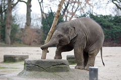 Tossing the Caber (Hagenbeck)