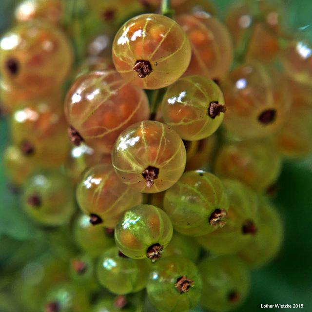 Fruchtstand der Weißen Johannisbeeren (Ribes)
