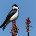 Tree Swallow at Rondeau Provincial Park