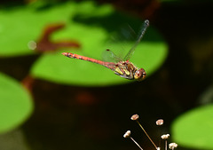 Grosse Heidelibelle im Flug