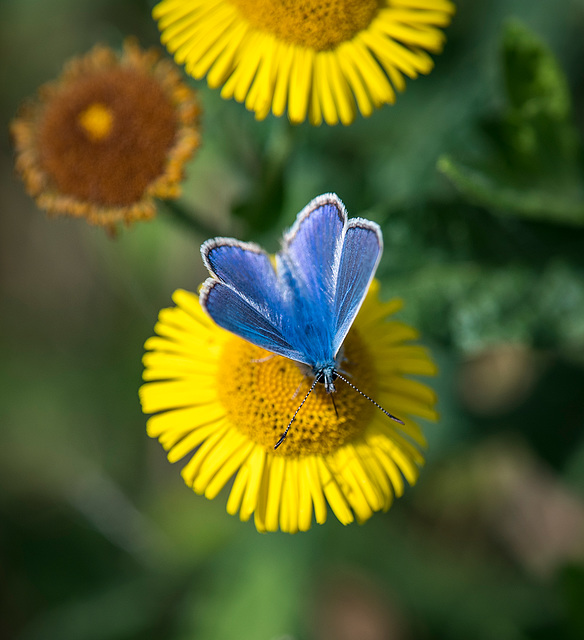 Common blue butterfly77