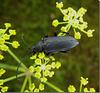 Stictoleptura scutellata femelle.