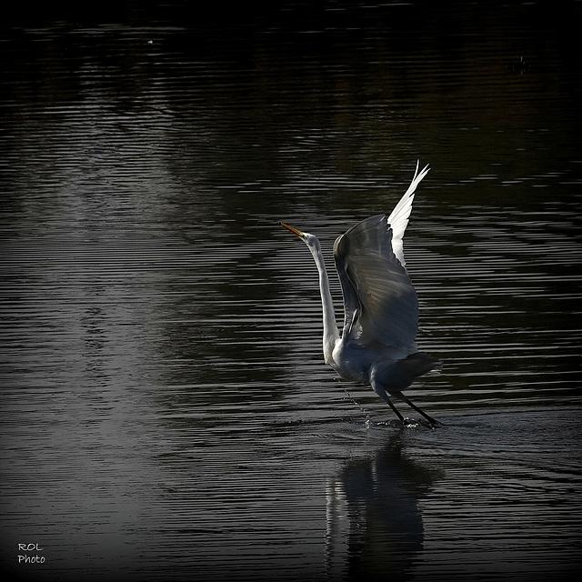 Le **Lac des.....Cygnes** ou presque, mais le lac des Aigrettes certain..!
