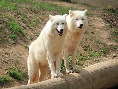Loups de l'Arctique, Parc zoologique de Saint-Martin-la-Plaine (France)