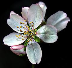 Fleur d'amandier ..!