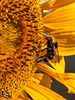 Pictures for Pam, Day 50: Bee on Sunflower