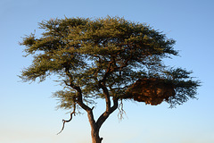 Namibia, A Huge Nest in the Branches of a Tree
