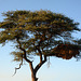 Namibia, A Huge Nest in the Branches of a Tree in the Game Reserve of Erindi