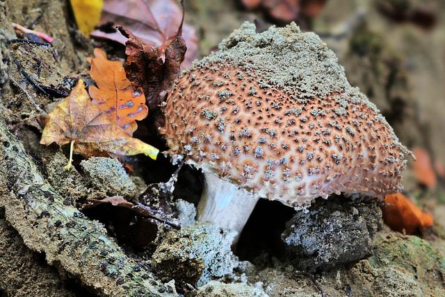 Echinoderma asperum (Spitzschuppiger Stachelschirmling)