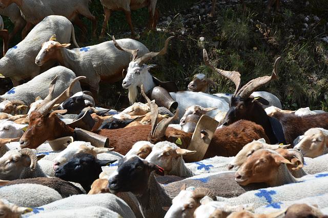 troupeau et béliers
