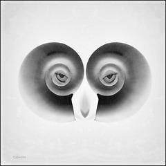 eye sea shell
