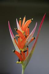 Parrot's Beak Heliconia