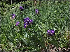Iris germanica (1)