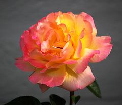 DSC 0113 - Peace Rose