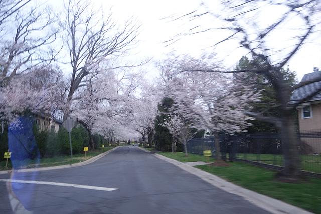 Kenwood Cherry Trees