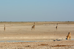 Namibia, Giraffes are Waiting on the Sidelines while the Lion is Drinking