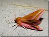 Deilephila elpenor mâle.