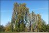 Cowley poplars