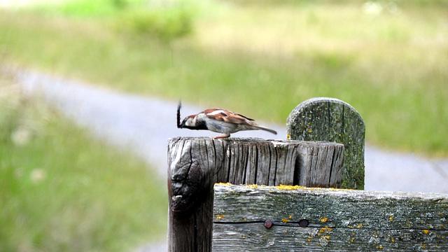 Tree Sparrow & caterpillar