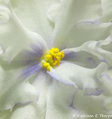 Arctic Forest Violet Macro - 052615