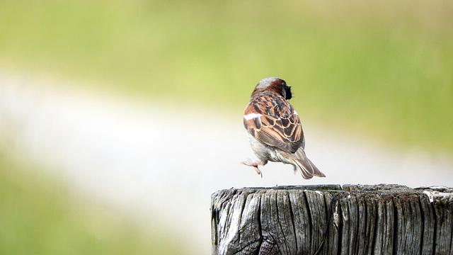 Tree Sparrow dancing!