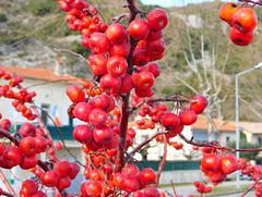 Fruits rouges pour les oiseaux