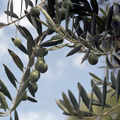 Extending the Olive Branch