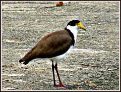 Spur-winged Plover.