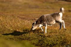 Jeune renne Arctique qui gambade