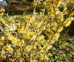 Japanische Zaubernuss - Hamamelis japonica