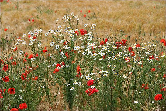 Mohn-Blumen-Getreidefeld