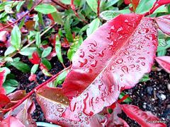Raindrops on Leaves.