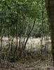 A distant Deer in Bourne Woods