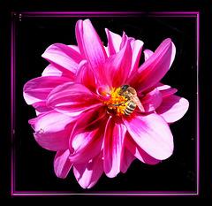 Bee on Dahlia... ©UdoSm