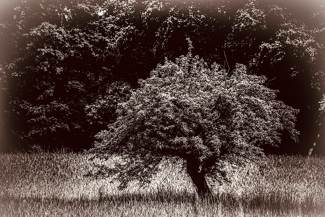 A Tree in the Fields