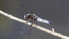 Première libellule