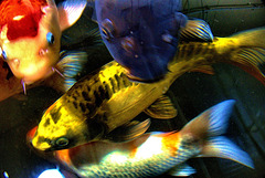 Abstracted Carp. Fishpond. Garden Centre