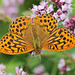 Silver-washed Fritillary II