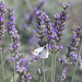 IMG 5796 Papillon