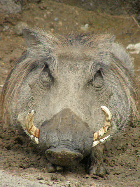 Warthog at Kansas City Zoo