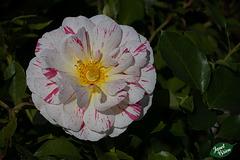 99/366: Mottled Rose