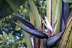 Strelitzia nicolai - Baum-Strelitzie | Baum-Paradiesvogelblume