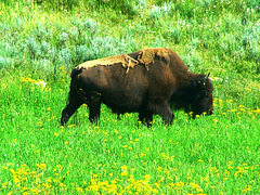 American bison (Bison bison) - Yellowstone National Park