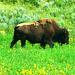 American bison (Bison bison) - Yellowstone National Park