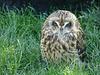Sleepy Short-eared Owl